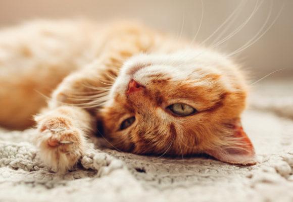 National Cat Day in the USA: задания для тематического урока
