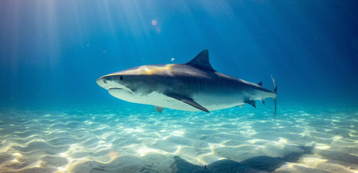 Shark Awareness Day (Worksheet)